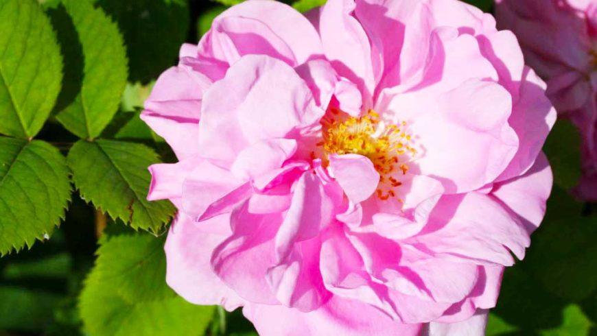 Rosa damascena, proprietà e curiosità
