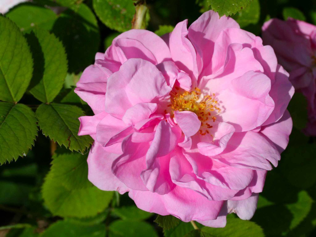 rosa-damascena-vars-semperflorens.jpeg