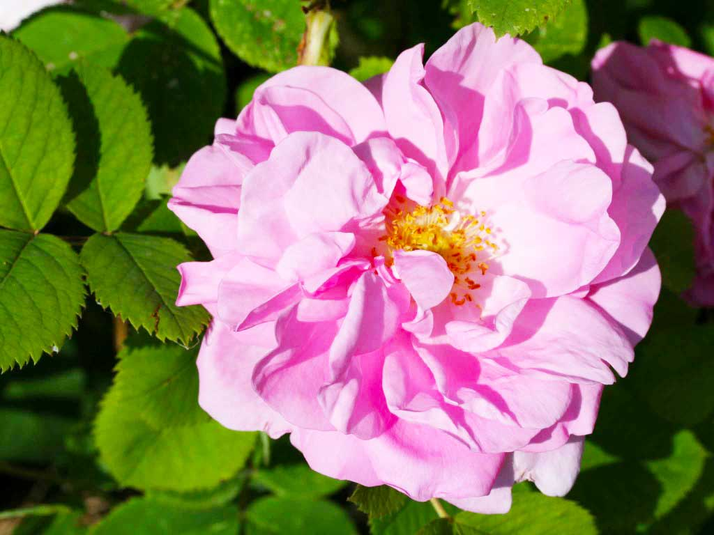 rosa-damascena-vars-semperflorens.jpg