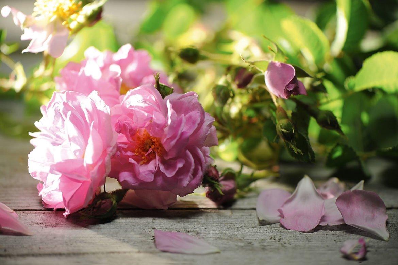 rosa-damascena-damaszener-rose_press.jpeg